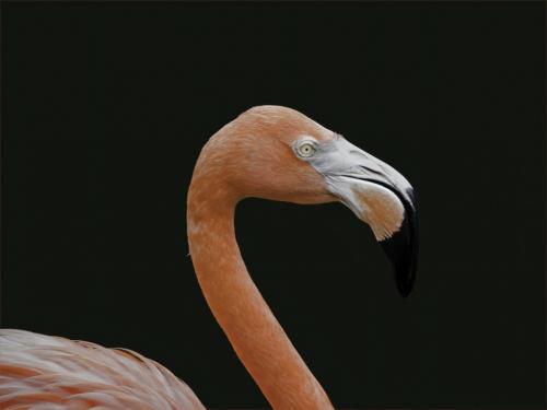Lesser (Pink) Flamingo 8 6 7 21 Jim Maguire  Nature Gold