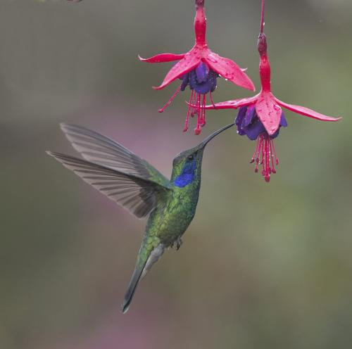 Lesser Violet Ear Hummingbird  10 9 8 27 TC GPP Judy Boufford  Nature Gold