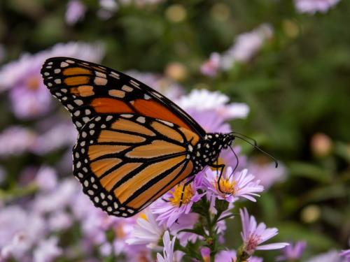 Monarch Butterfly #8 7.5 7.5 7.5 22.5 Terry Ross-Poulton  Nature Gold