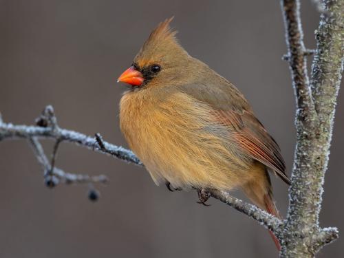 Northern Cardinal 8.5 9 7 24.5 HM GPP Brian Floyd  Nature Gold