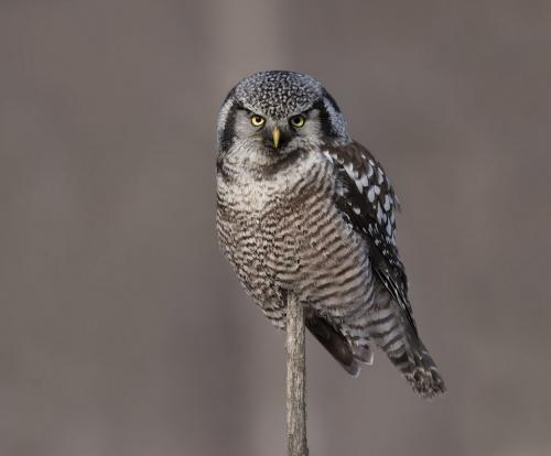 Northern Hawk Owl 8.5 7.5 7.5 23.5 GPP Pat Wintemute  Nature Gold