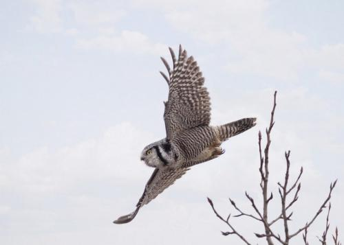 Northern Hawk Owl In Flight 8 7 7.5 22.5 Pat Wintemute  Nature Gold