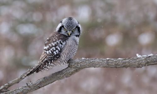 Northern Hawk Owl 10 7.5 8 25.5 TC GPP Pat Wintemute  Nature Gold