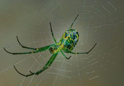 Orb Weaver Spinning Web 8 8 6.5 22.5 Doug Doede  Nature Master