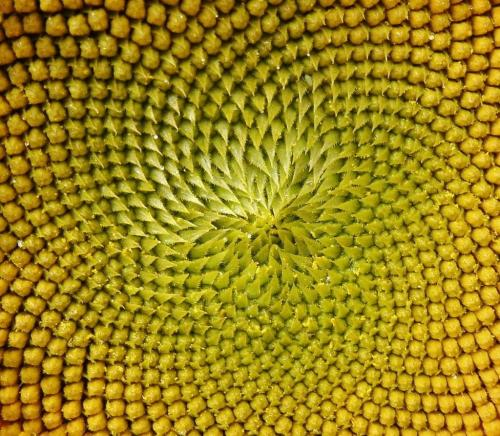 Sunflower Detail 7.5 6.5 7 21 Roy Oldfield  Pictorial Gold