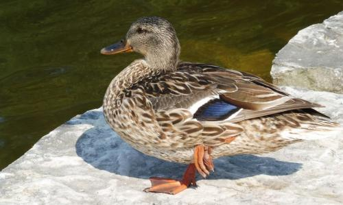 Mallard Duck 7 7 7 21 Roy Oldfield  Nature Gold