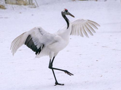 Dancing Red-Crowned Crane 7 7 7.5 21.5 Peter Chow  Nature Silver