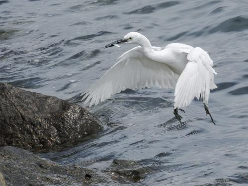 Little Egret With Fish 7.5 8 7.5 23 SPP Peter Chow  Nature Silver