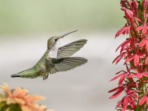 Female Ruby-Throated Hummingbird 8 6.5 7.5 22 SPP Peter Chow  Nature Silver