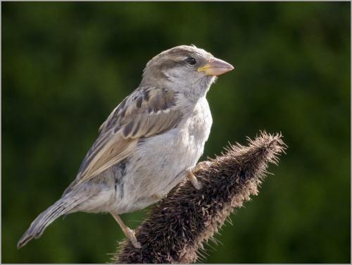House Sparrow 6.5 6.5 6.5 19.5 Peter Chow  Nature Silver
