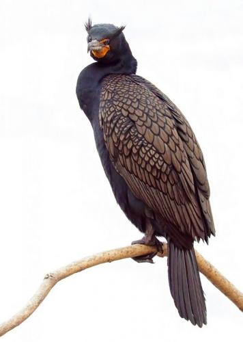 Cormorant 8 8 8 24 HM DP Dan Copeland  Nature Master