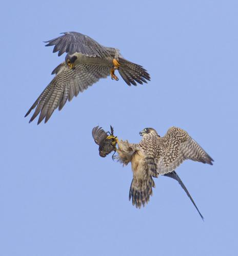 Peregrine Transfer  2 8 8 9 25 TC DP David Seldon  Nature Master