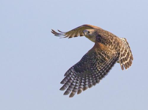 Red Shouldered Hawk 7 7 7.5 21.5 David Seldon  Nature Master