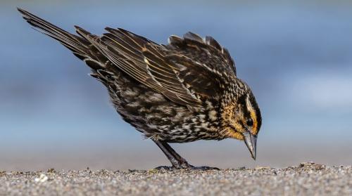 Redwinged Blackbird 8 7 8 23 GPP Jim Thomson  Nature Gold