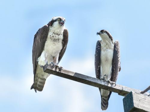 Ospreys 6 6 7 19 Mike Mulvale  Nature Silver