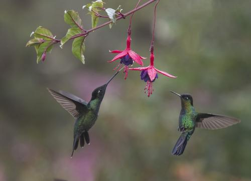 Talamanca&Firey Throat Hummingbi 9.5 8 8.5 26 TC GPP Judy Boufford  Nature Gold