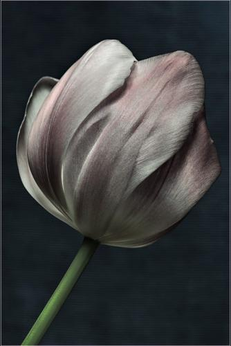Tulip 8.5 7 8 23.5 HM SPP Janet McNally  Pictorial Silver