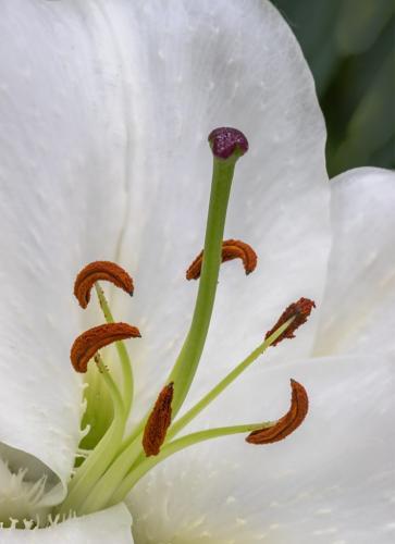 White Lily 8.5 6.5 7.5 22.5 Don Poulton  Pictorial Master