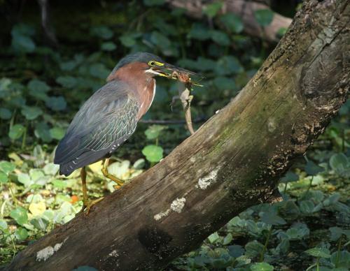 Heron With A Lizard  8.5 7.5 8 24 HM DP Dan Copeland  Nature Master