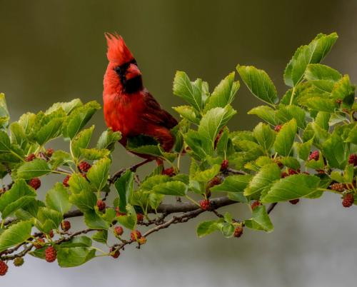 Cardinal  7 6.5 7.5 21 Dan Copeland  Nature Master