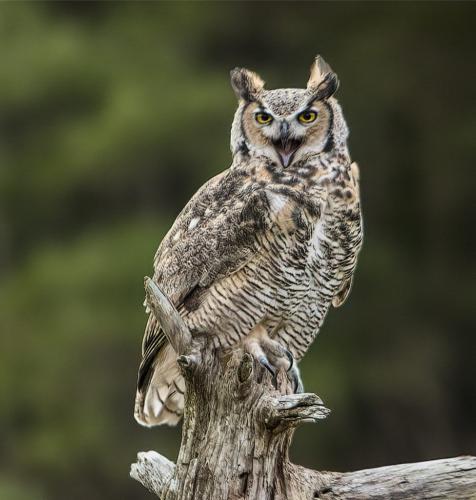 Great Horned Owl 2 7.5 6.5 7.5 21.5 Gary Love  Nature Master