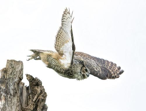 Great Horned Owl 7 8 7 22 Gary Love  Nature Master