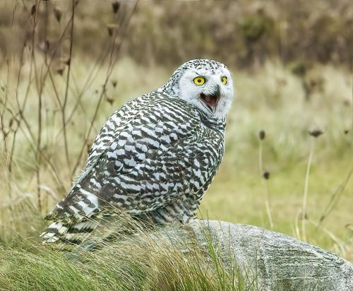 Snowie Owl 6 7.5 7.5 21 Gary Love  Nature Master
