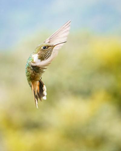 Female Volcano Hummingbird 7 7 7 21 Kathryn Martin  Nature Master
