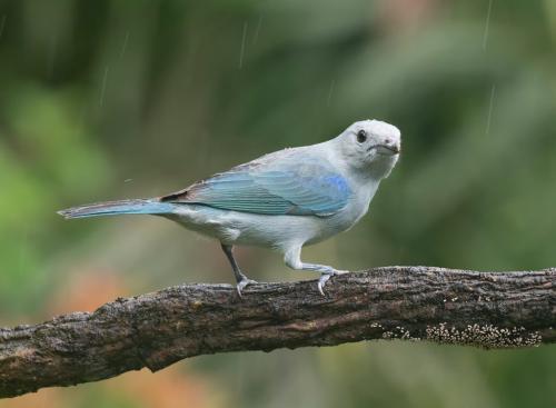 Blue Grey Tanager 7.5 8 8.5 24 GPP Judy Boufford  Nature Gold