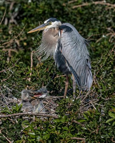 Blue Heron And Chicks On Nest 8 7.5 8 23.5 GPP Geoff Dunn  Nature Gold
