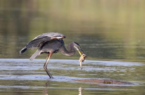 Great Blue Heron With Fish 7.5 7.5 7.5 22.5 Pat Wintemute  Nature Gold