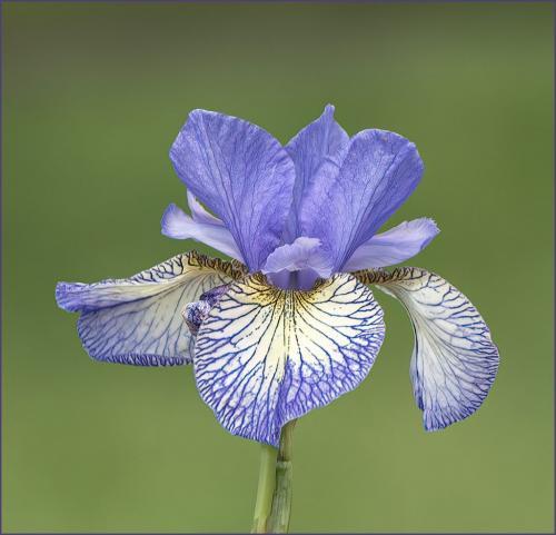 Blue Iris  8.5 8.5 8.5 25.5 TC GPP Judy Boufford  Pictorial Gold
