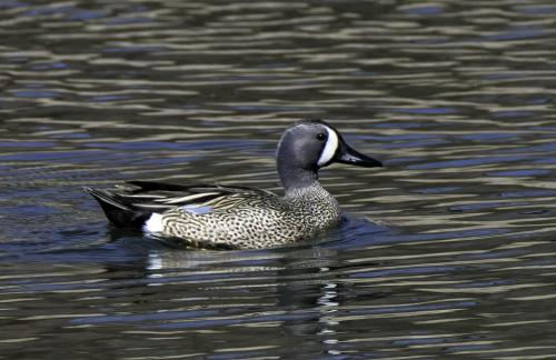 Blue-Winged Teal 7.5 6.5 7.5 21.5 Jim Maguire  Nature Gold