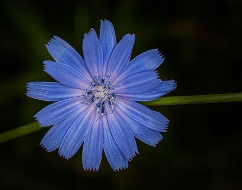 Chicory 7 7 7.5 21.5 Doug Doede  Nature Master