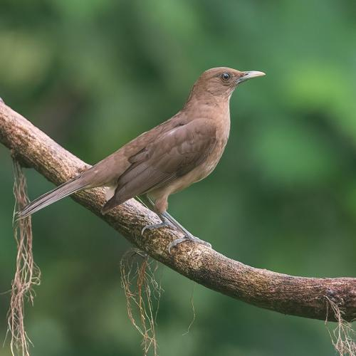 Clay Coloured Thrush 8.5 7.5 8.5 24.5 HM GPP Judy Boufford  Nature Gold