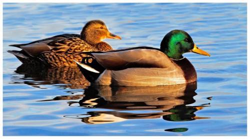 Couple Of Ducks 7 6.5 6.5 20 Marino Favretto  Nature Bronze