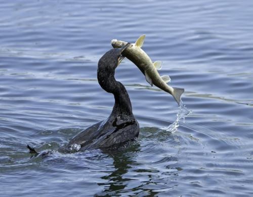 Cormorant With Fish - 1 7 7.5 7 21.5 Jim Maguire  Nature Gold