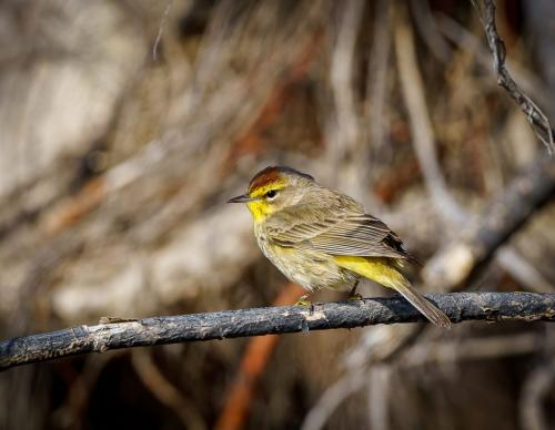 Palm Warbler 6.5 7 7.5 21 Andy Langs  Nature Gold