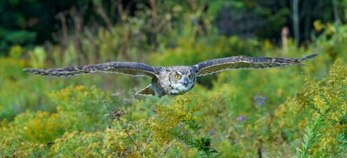 Horned Owl In Flight 7.5 7.5 8.5 23.5 GPP Andy Langs  Nature Gold