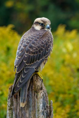 Lanner Falcon 8.5 7 8.5 24 GPP Andy Langs  Nature Gold