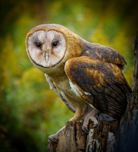 Barn Owl 7 7.5 8 22.5 Andy Langs  Nature Gold