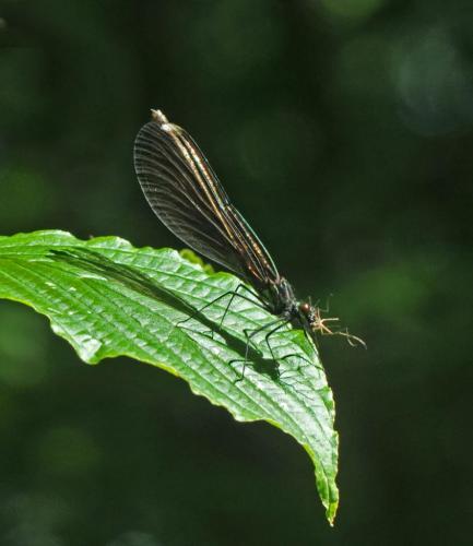 Ebony Jewelwing Eating Mosquito 7 6 7 20 Heather Engel  Nature Master