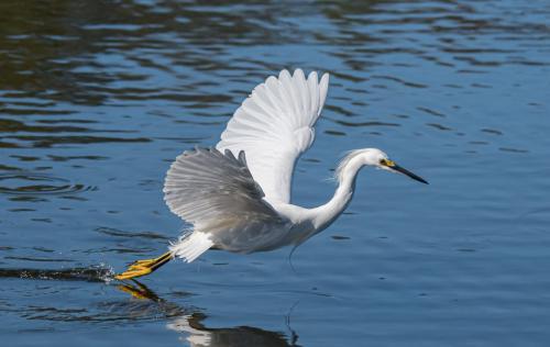 Egret Taking Flight 7 7.5 8 22.5 Herb McClelland  Nature Gold