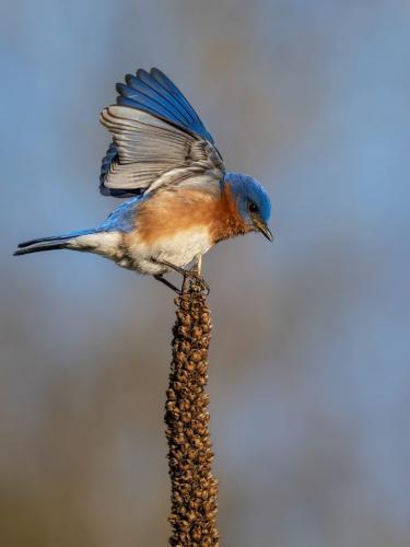 Eastern Bluebird 8 8 8.5 24.5 HM GPP Brian Floyd  Nature Gold