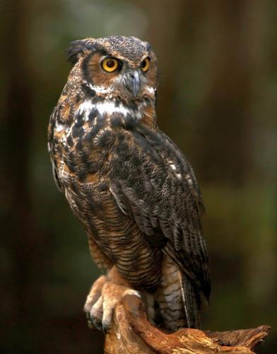 Eurasian Eagle-Owl 8 7.5 7 22.5 Dan Copeland  Nature Master