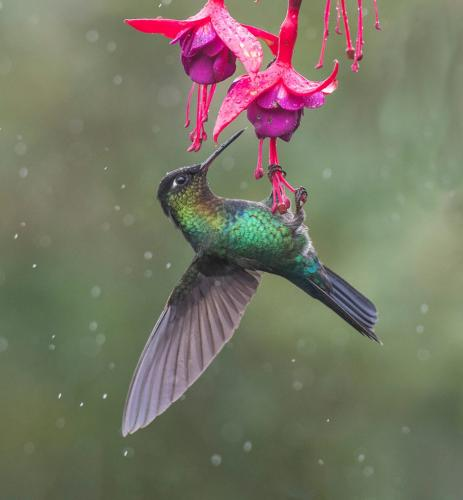 Fiery Throated Hummingbird 9 8 8.5 25.5 TC GPP Judy Boufford  Nature Gold