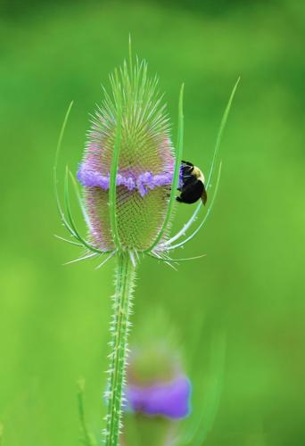 Bee On Teasel 6.5 7.5 7.5 21.5 Leonie Holmes  Nature Gold