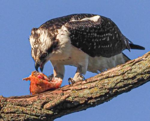 Osprey With Prey 6.5 6 6.5 19 John Strung  Nature Gold