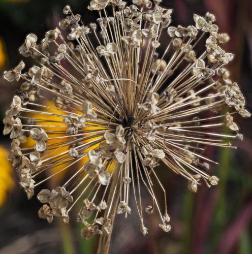 Allium Seed Head 6 6 7 19 John Strung  Pictorial Gold
