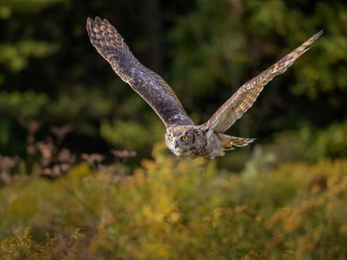Great Horned Owl 8.5 7.5 8.5 24.5 HM GPP Brian Floyd  Nature Gold